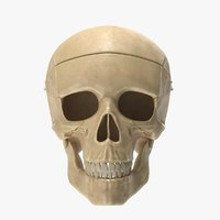 realistic skull anatomical 3D model