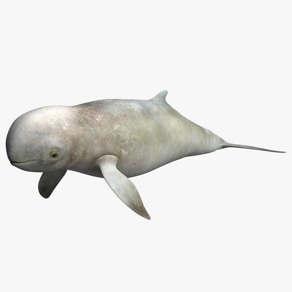 3D irrawaddy dolphin