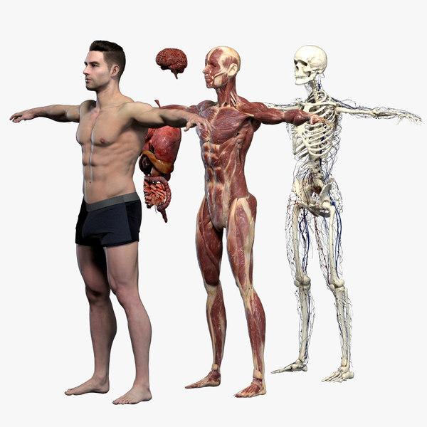 3D model realistic organs rigged