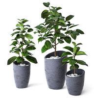 Ficus Elastica 3