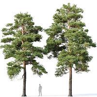 Pinus sylvestris #13 H12- 14m Two tree set