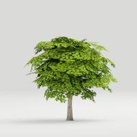 Maple Tree G13