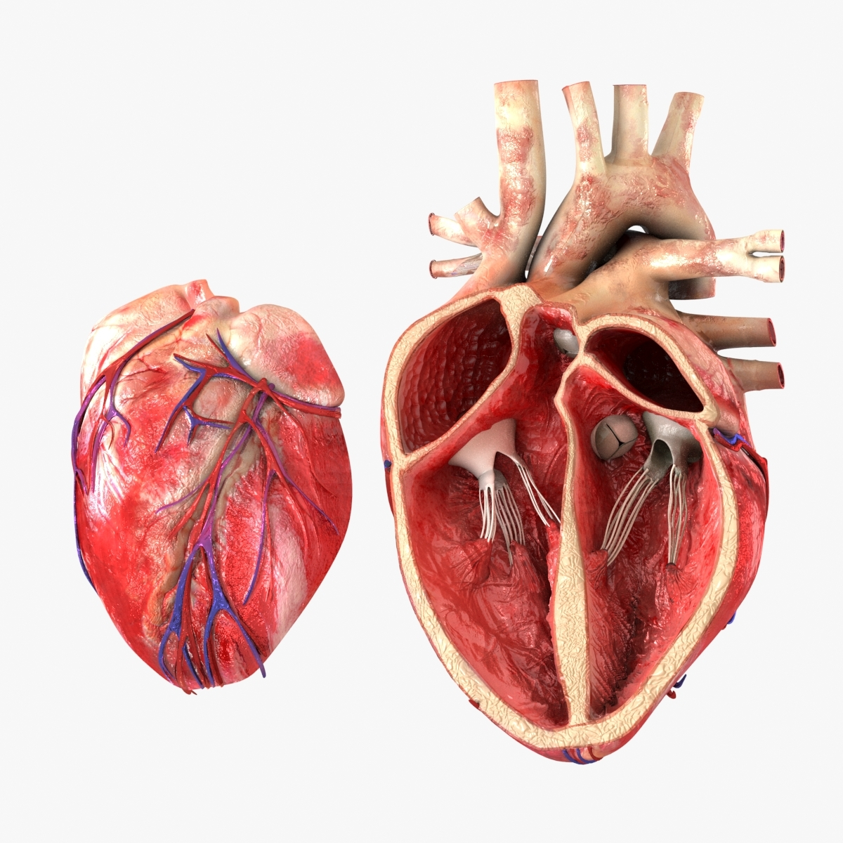3D model heart anatomical cross section