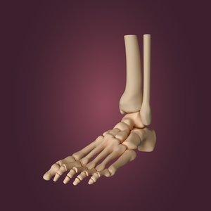 skeletal foot 3D model
