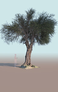 3D mature olive tree olea