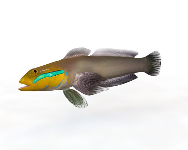 3D model goby fish