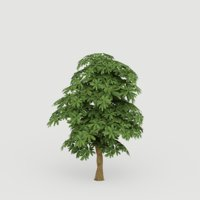 Cerbera Tree G16