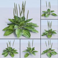 plantains set, fleaworts, Plantago