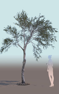 young olive tree olea 3D model
