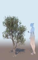 Olea europaea olive tree decorative A