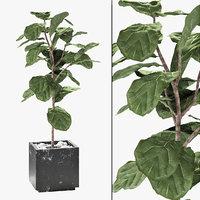 3D ficus lyrata plant exotic model