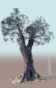 3D mature pruned olive tree