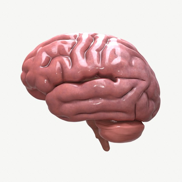 3D model brain human anatomy