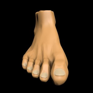foot leg anatomy 3D model