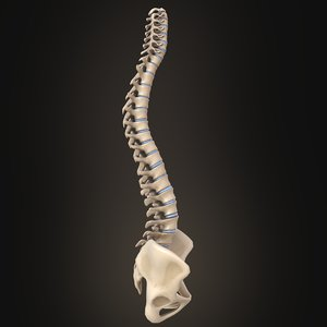 3D model spine anatomy spinal column