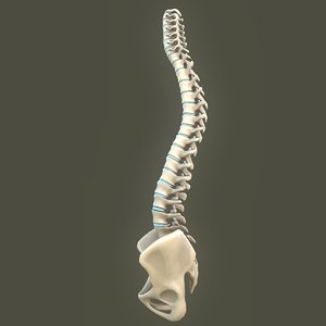 spine anatomy spinal column 3D model