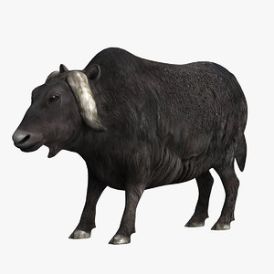 domestic yak model