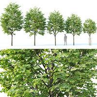 Tilia europaea #1 H4-6.5m Five tree set