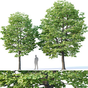 3D 2 tilia trees model