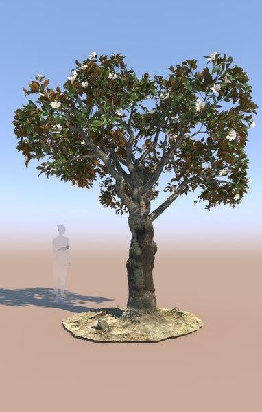 decorative ficus tree nitida 3D model