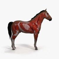 skin horse skeleton muscles 3D