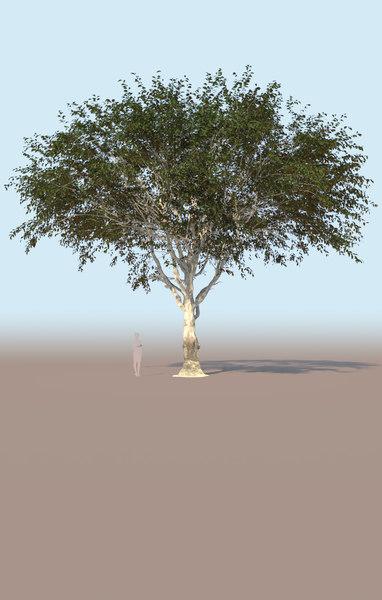 3D model mature ficus tree nitida