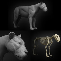 3D model lion anatomy muscles skeleton animal