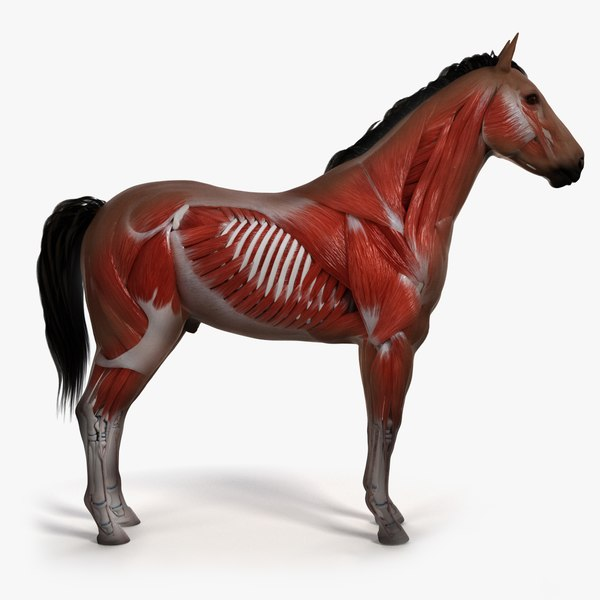 skin horse skeleton muscles 3D