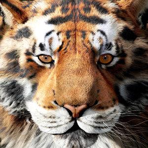 3D model tiger head