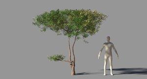 acacia tree 3D
