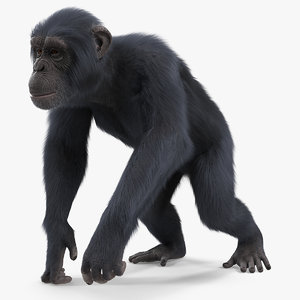 dark chimpanzee walking pose model
