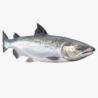 Animated Swims Atlantic Salmon Fish Rigged