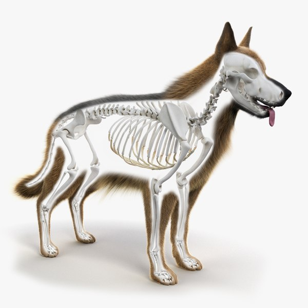 german shepherd skin skeleton 3D