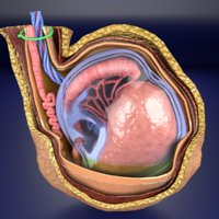 3D testis coverings model