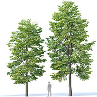 Tilia europaea Nr 3 H9-11m Two tree set