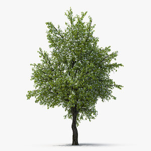 flowering pear tree 3D