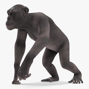 3D walking dark chimpanzee model