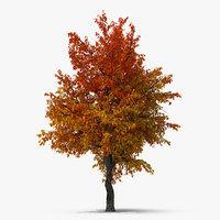 autumn pear tree model