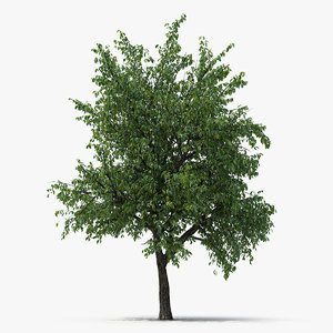 summer pear tree model
