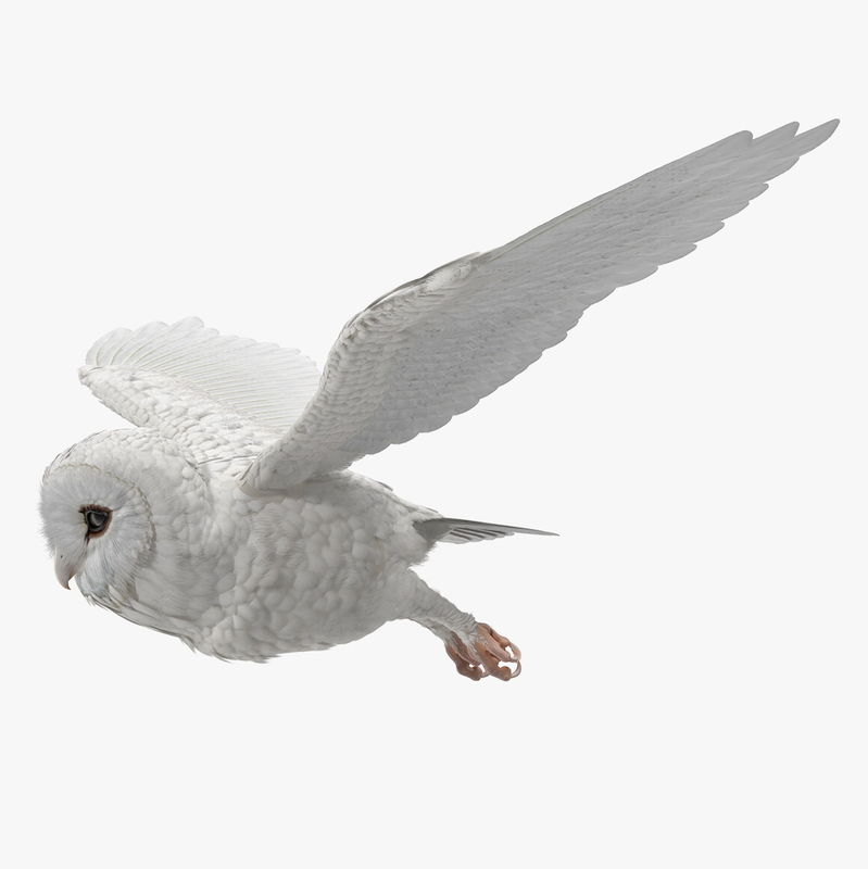 3D white barn owl rigged model