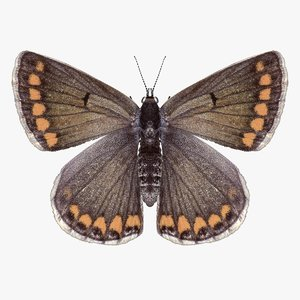 realistic northern brown argus 3D