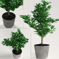 3D model plant ficus indoor