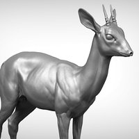 3D dik antelope madoqua