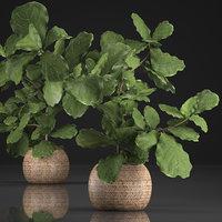 3D houseplants exotic plants ficus model