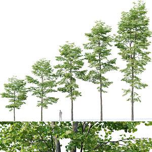 tilia trees model