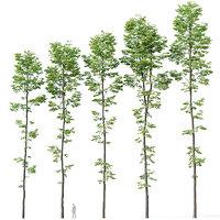 Tilia europaea #9. H19-27m. Five forest trees