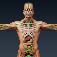 Human Male and Female Complete Anatomy - Body, Muscles, Skeleton, Internal Organs and Lymphatic