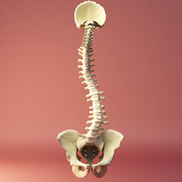 3D spine model