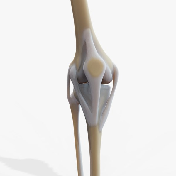 knee joint 3D