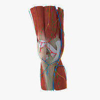 complete knee anatomy muscles 3D model